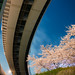 Overpass curve in line with cherry blossom (江北ジャンクションと桜)