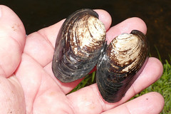 Freshwater Mussel (Potomida littoralis) empty shell found on the bank of Orne river