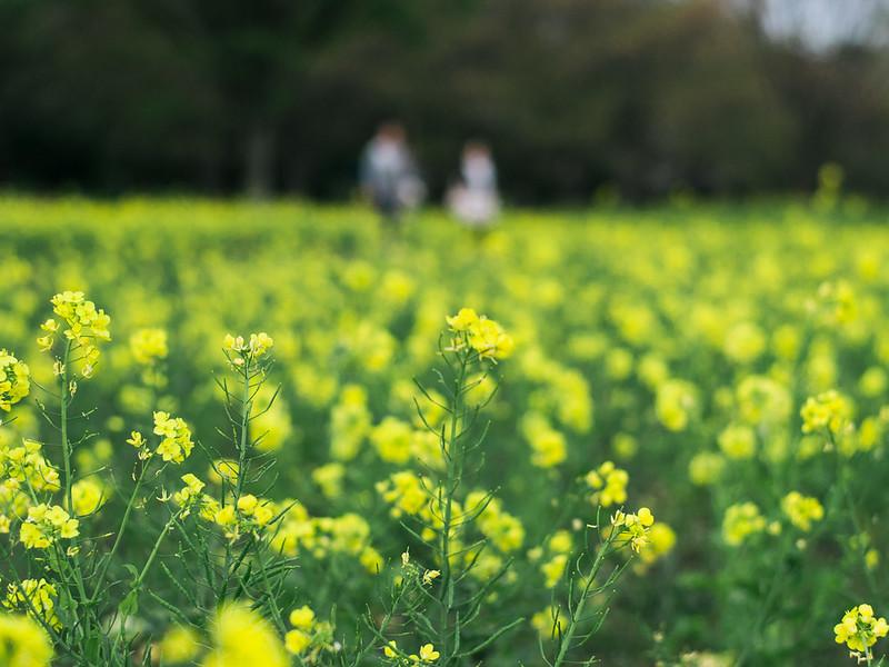 Rape Blossoms in Showa Kinen Park