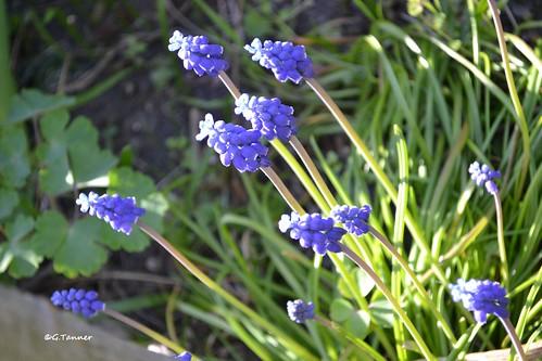 Blaue Stunde im Aprilgarten