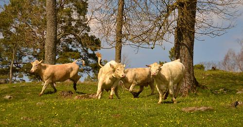 cows kor lehmiä kosläpp happycows spring vår kevät bolstaholm geta åland