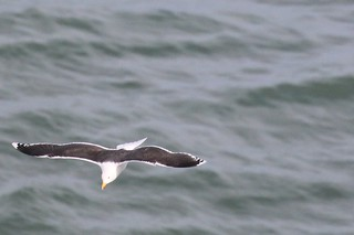 Great black-blacked gull