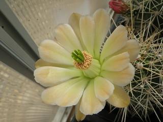 Echinocereus coccineus hybrid