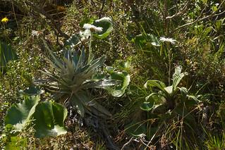 Celmisia plants