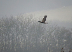 Marsh Harrier - Circus aeruginosus