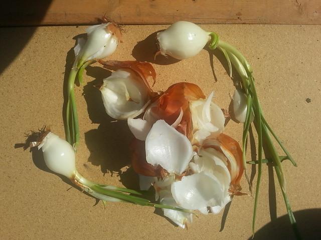 peeled onions 2