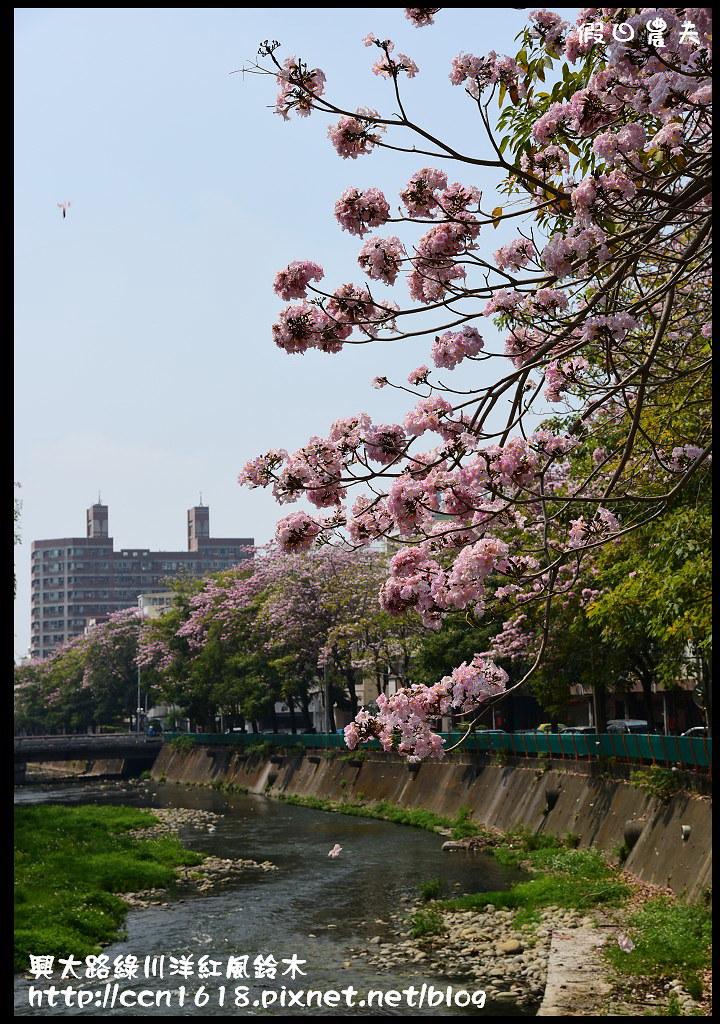 興大路綠川洋紅風鈴木DSC_2296