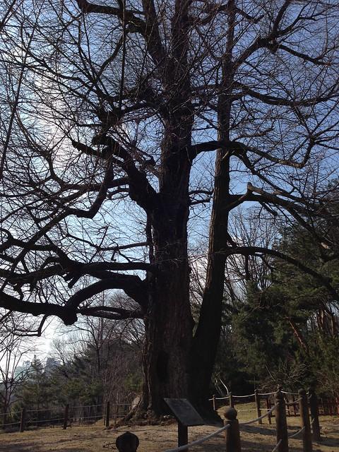 500-year-old gingko tree