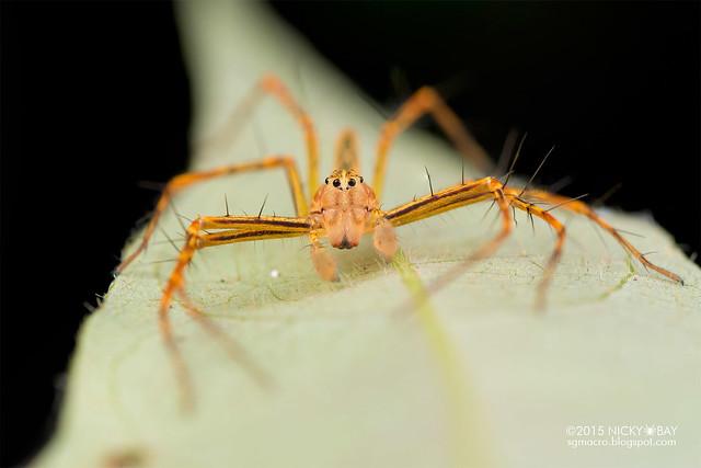 Lynx spider (Hamadruas sp.) - DSC_4513