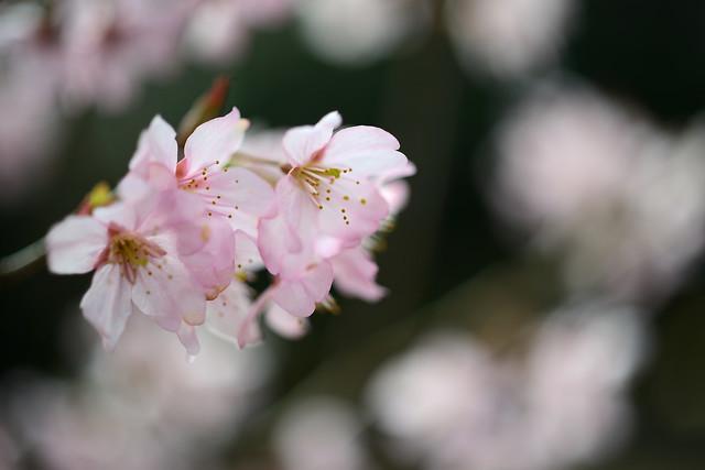 Sakura...
