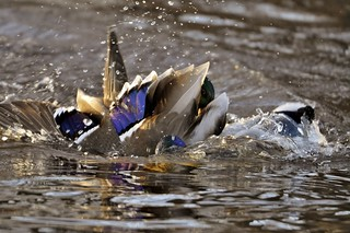 Angry Birds In the water,#Birds #Water #Spring #Figth #Colors #Sweden #Arboga #Photography #Magic #Amazing #View