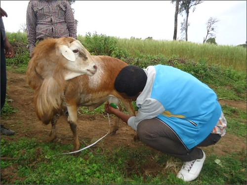 Farmer assessing the integrity of a ram's external reproductive organs