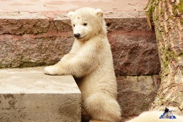 Zoo Rostock Eisbären 28.03.2015  36