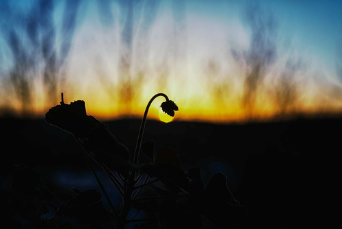 twilight of the spring bud