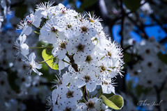 flower, branch, tree, plant, nature, macro photography, flora, close-up, prunus spinosa, cherry blossom, spring,