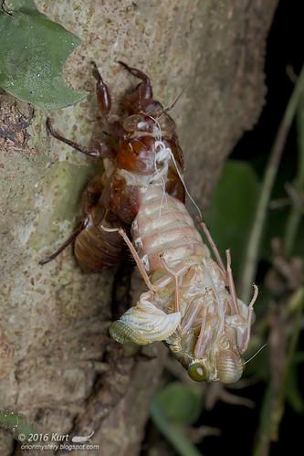 Emerging cicada_MG_0742 copy