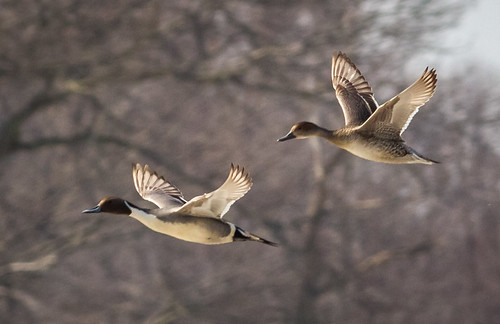 Northern Pintail pair in flight