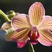 miniature Moth Orchid (phalaenopsis sp.) by celerycelery