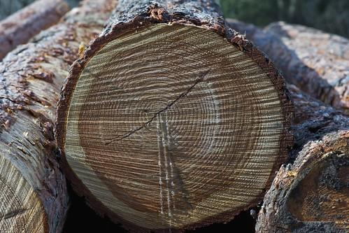 teardrops of a tree