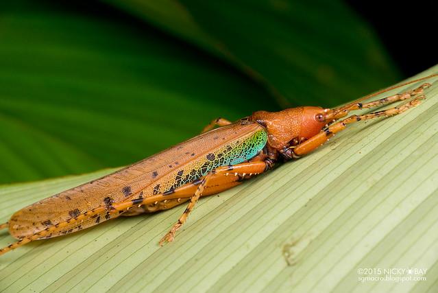 Katydid (Tettigoniidae) - DSC_2810