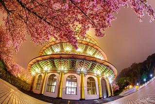 天元夜櫻-Sakura at Night