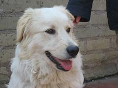 dog breed, animal, polish tatra sheepdog, dog, pet, maremma sheepdog, slovak cuvac, golden retriever, carnivoran, great pyrenees,