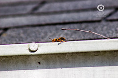 Wasp on a Gutter