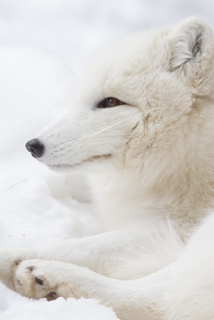 Arctic Fox Side Profile