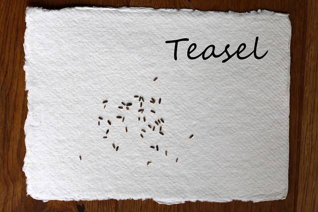 Teasel Seeds