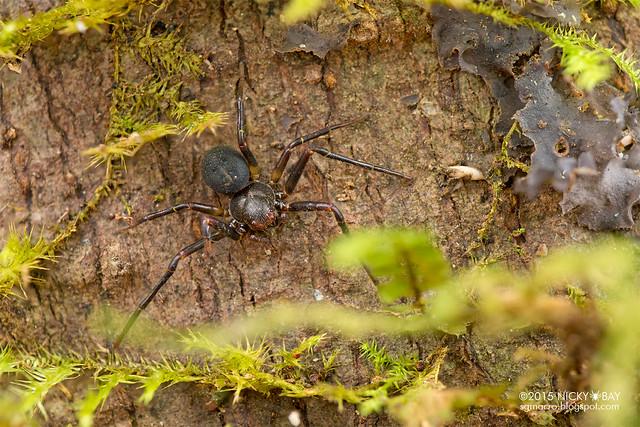 Crab spider (Cebrenninus sp.) - DSC_4503