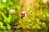 Rose Bud#Home Garden