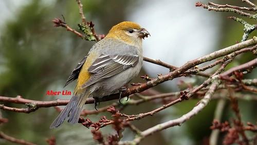 Pine Grosbeak female 松雀 A75Y0659-1