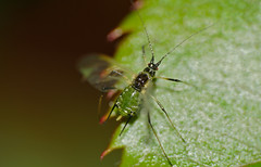 Rose Aphid (Macrosiphum rosae) winged form
