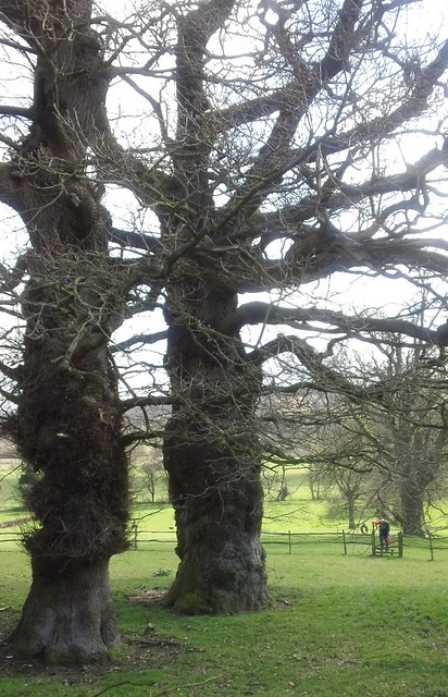 Pair of gossiping old trees