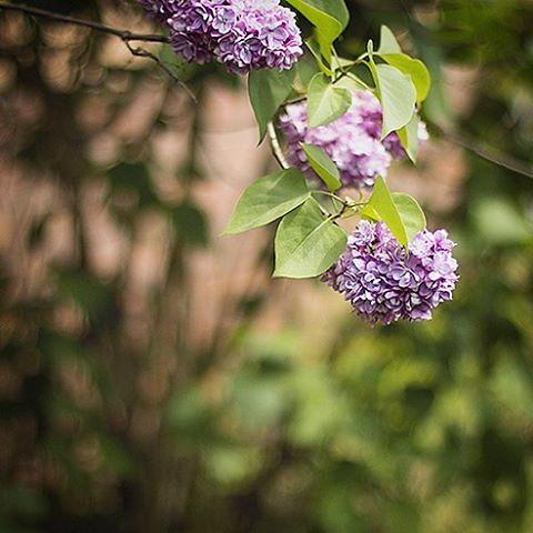 U nas w domu dzisiaj pachnie bzem :) #bez #wiosna #spring #lilac