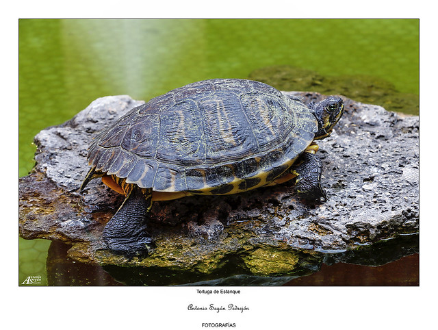 Tortuga de estanque
