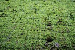 shrub(0.0), flower(0.0), field(0.0), leaf(0.0), soil(0.0), grass(0.0), weed(0.0), crop(0.0), lawn(0.0), plant(1.0), herb(1.0), green(1.0), meadow(1.0), vegetation(1.0), moss(1.0),