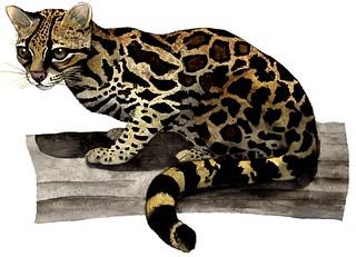 leopardus_wiedii___tigrillo_by_robertoarreola-d7e0n9m