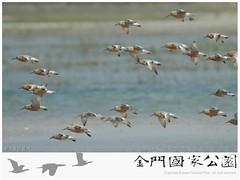金門水鳥族群研究成果-02