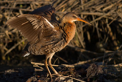 Light-footed Ridgway's Rail