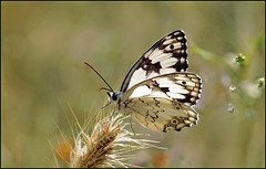Backlight Melanargia titea  סטרית משוישת 11