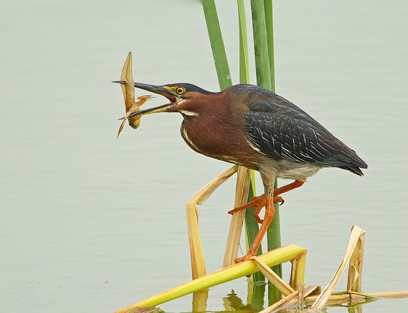 Little Green Heron-VIEW LARGE