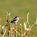Small photo of Long-tailed tit, Aegithalos caudatus, Bristol, UK