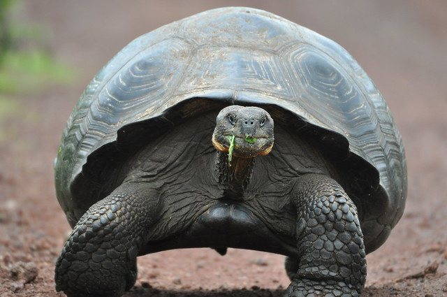 photo of Galapagos Tortoise