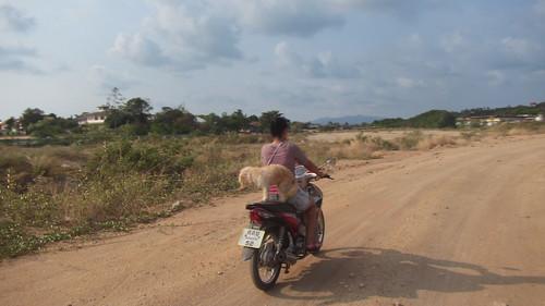 Koh Samui Daily Dog & Motorcycle