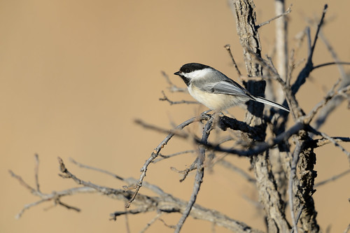 Chickadee on Oak_43719.jpg