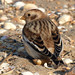 Snow Bunting, sitting on his seashell toilet by Peanut1371