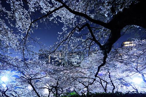 TOKYO sakura さくら 千鳥ヶ淵