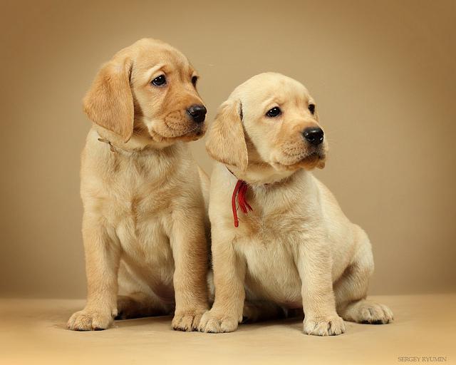 perro labrador cachorro