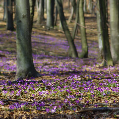 Romania - Huta Pass - Crocuses